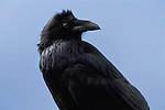 Portrait of a Raven in Yellowstone National Park.
