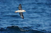 Northern Fulmar (Fulmarus glacialis) soaring over a wave. Gray's Harbor County, Washington. October.