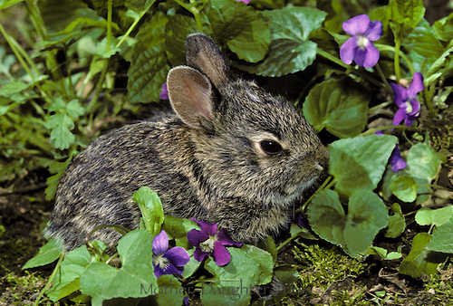 Baby cottontail rabbit, Lepus sylvaticus, hides among purple violets at the edge of the garden keeping out of sight until night time when he can graze with ease
