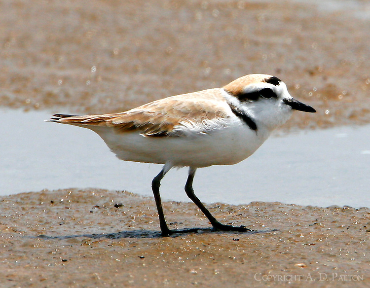 Adult snowy plover in breeding plumage