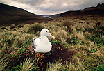 Wandering albatross, Enderby Island, New Zealand