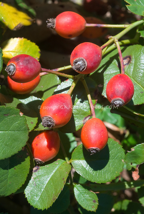 Rosa 'Wild Thing' in rose hips in autumn = Jactoose