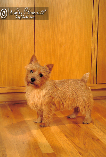 Norwich Terrier Shopping cart has 3 Tabs:<br /> <br /> 1) Rights-Managed downloads for Commercial Use<br /> <br /> 2) Print sizes from wallet to 20x30<br /> <br /> 3) Merchandise items like T-shirts and refrigerator magnets