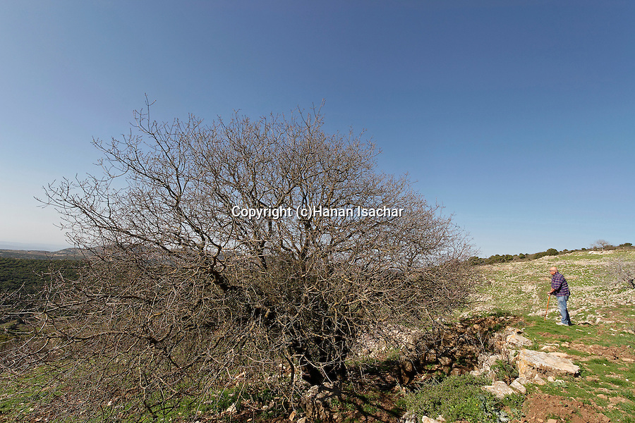 Israel, the Upper Galilee. Terebinth tree (Pistacia Palaestina) on Mount Meron