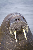 Atlantic walrus, Odobenus rosmarus rosmarus, resting on the beach, Spitsbergen, Svalbard, Norway, Arctic Ocean