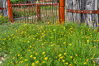 Wildflowers along a cedar post fence with a wrought iron gate in the Texas Hill country in spring on a road trip we took recently.  We found that in this small town someone wanted people to notice the wonderful display ofwildflowers so of course we had to stop and photograph these wonderful flowers I believe them may be damiantia wildflowers in the Texas scene.