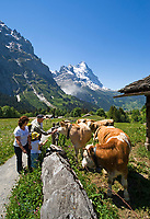 CHE, Schweiz, Kanton Bern, Berner Oberland, Grindelwald: Wanderer und Kuehe oberhalb von Grindelwald vorm Eiger | CHE, Switzerland, Bern Canton, Bernese Oberland, Grindelwald: hikers and cattle above Grindelwald with Eiger north face