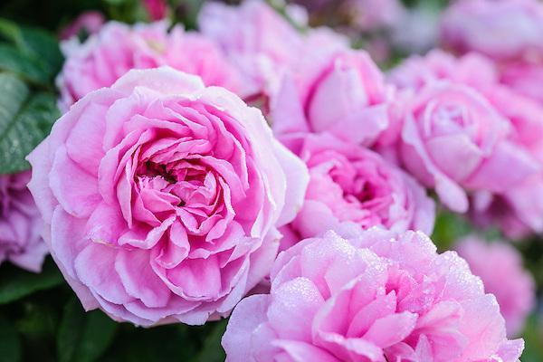 Rosa 'Ispahan'