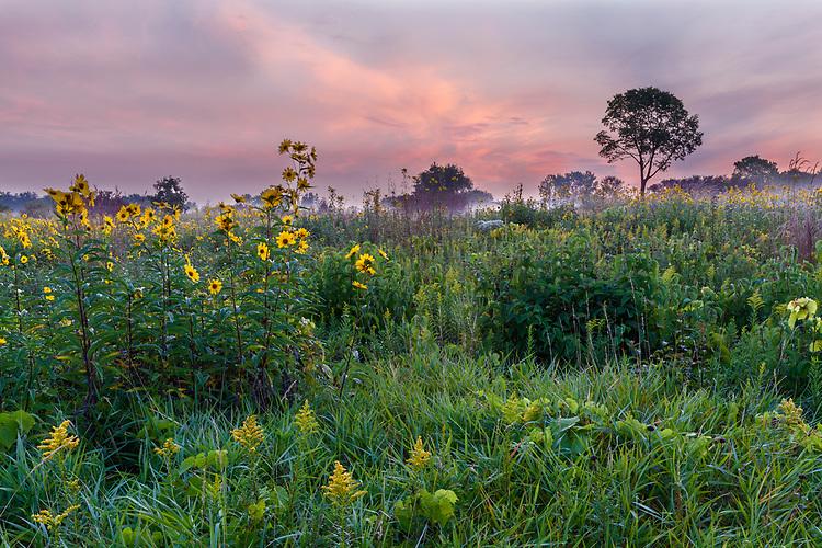 Foggy sunrise over a field of Sawtooth Sunflowers (Helianthus grosseserratus) on a prairie; Springbrook Prairie Forest Preserve; DuPage County, IL