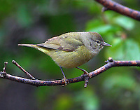 Adult orange-crowned warbler at Quinta Mazatlan, McAllen, Texas