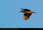 Black-crowned Night Heron, Sunset Flight, Sepulveda Wildlife Refuge, Southern California