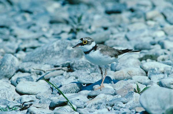 Little Ringed Plover, Charadrius dubius, female, Scrivia River, Italy, June 1993