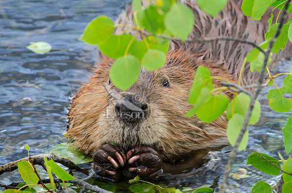 North American Beaver (Castor canadensis) eating aspen tree leaves and small limbs.  Northern Rockies,  Fall.