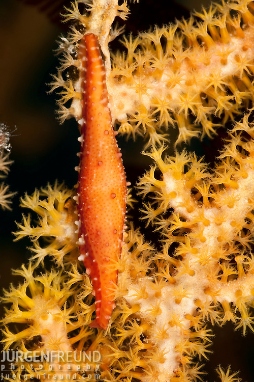 Spindle cowry Pellasimnia sp. on its gorgonian host
