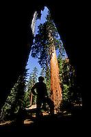 Man inside a burn hole of a sequoia tree in Giant Grove, Yosemite National Park, California, USA