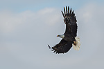 Adult Bald Eagle banks to check for fish at the river's surface