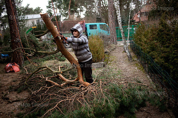 OTWOCK, POLAND, 15/03/2017:<br /> Andrzej is receiving the branches of the tree that his team is felling in a small town of Otwock near Warsaw, March 15, 2017. The new controversial law has allowed to cut the trees that were previously banned and there's been a sure in cutting trees all over the country. <br /> (Photo by Piotr Malecki / Napo Images)<br /> ****<br /> OTWOCK,  15/03/2017:<br /> Wycinka dwoch drzew na prywatnej dzialce w Otwocku po wprowadzeniu przez ministra srodowiska Jana Szyszke prawa o swobodym wycinaniu drzew.Fot: Piotr Malecki / Napo Images