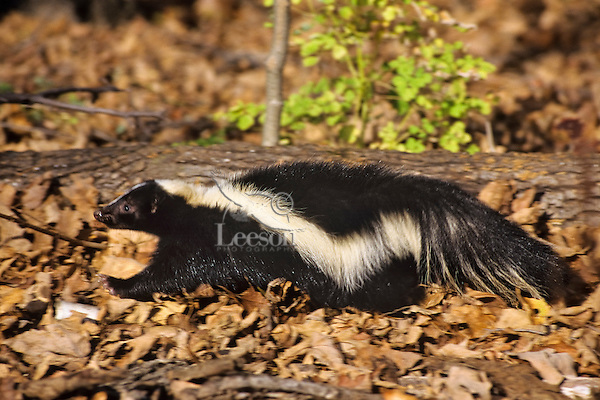 Striped Skunk walking through Upper Midwest forest.  Fall.