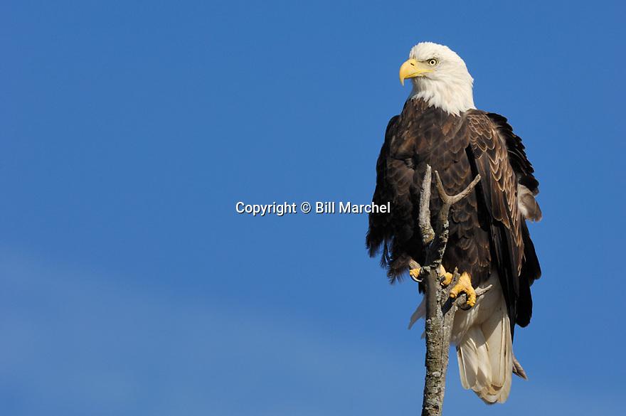 00370-014.02 Bald Eagle (DIGITAL) adult is perched on dead tree against blue sky.  Bird of prey, raptor, predator, bird, birding.  H4F1