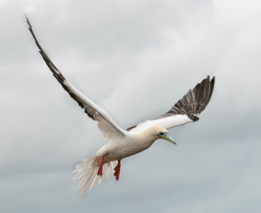 Red-footed booby (Sula sula) in flight, landing, at the Kilauea Point National Wildlife Refuge, Kauai, Hawaii