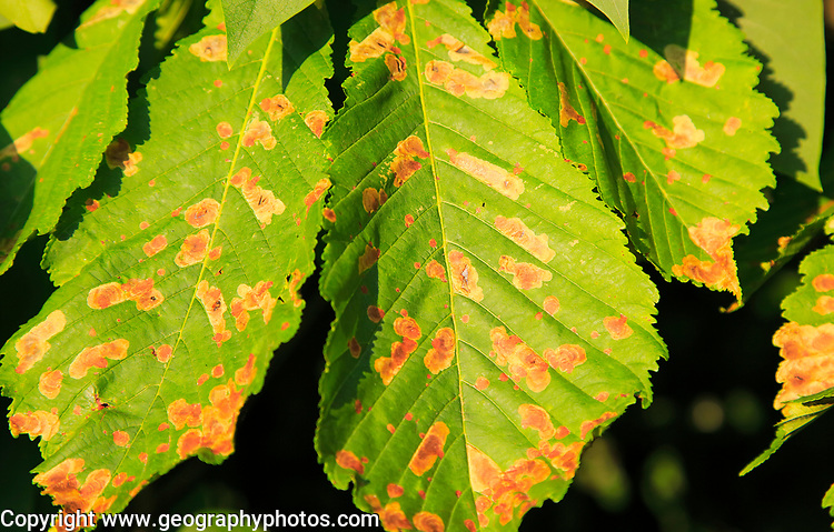Horse chestnut tree, Aesculus hippocastanum, Suffolk, England UK leaf miner insect, Cameraria ohridella, damage to leaves