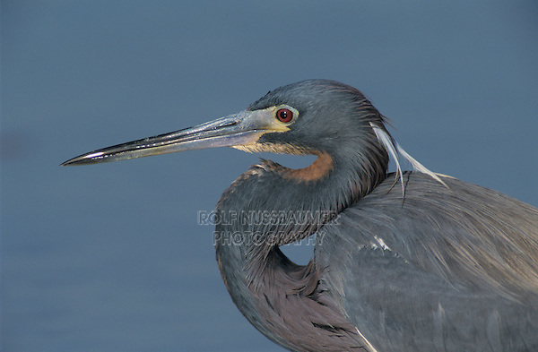 Tricolored Heron, Egretta tricolor, adult, Port Aransas, Texas, USA, March 2003