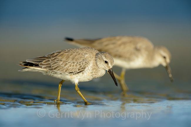 Red Knot (Calidris canutus) in basic (winter) plumage foraging on the Altamaha Estuary. Glynn County, Georgia. October.