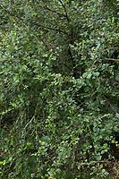 Strauch-Birke, Strauchbirke, Niedrige Birke, Betula humilis, shrubby birch