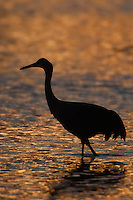 Sandhill Crane (Grus canadensis) silhouetted on copper/bronze reflection at sunset
