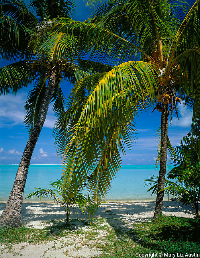 Bora Bora, French Polynesia: Coconut palm trees (Cocos nucifera) on Matira beach with the tropical blue waters of Bora Bora Lagoon