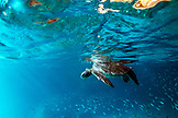 GALAPAGOS ISLANDS, ECUADOR, Isabela Island, Punta Vicente Roca, a sea turtle swims in the clear waters off of Isabela Island