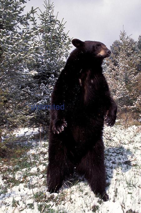 Black Bear standing. (Ursus americanus)