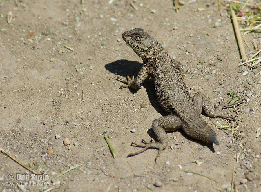 Western fence lizard, Sceloporus occidentalis, with tail broken off. Ano Nuevo State Reserve, California