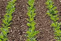 26.5.2020 Sugar beet plants growing n South Lincolnshire <br /> ©Tim Scrivener Photographer 07850 303986<br />      ....Covering Agriculture In The UK....