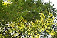 Götterbaum, Chinesischer Götterbaum, Ailanthus altissima, Ailanthus glandulosa, tree of heaven, ailanthus, chouchun, L'Ailante glanduleux, Ailante, Faux vernis du Japon, Vernis de Chine