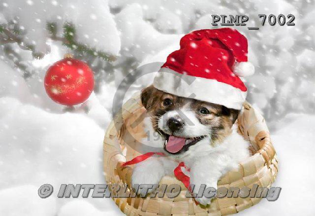 Marek, CHRISTMAS ANIMALS, WEIHNACHTEN TIERE, NAVIDAD ANIMALES, photos+++++,PLMP7002,#XA# dogs santas cap