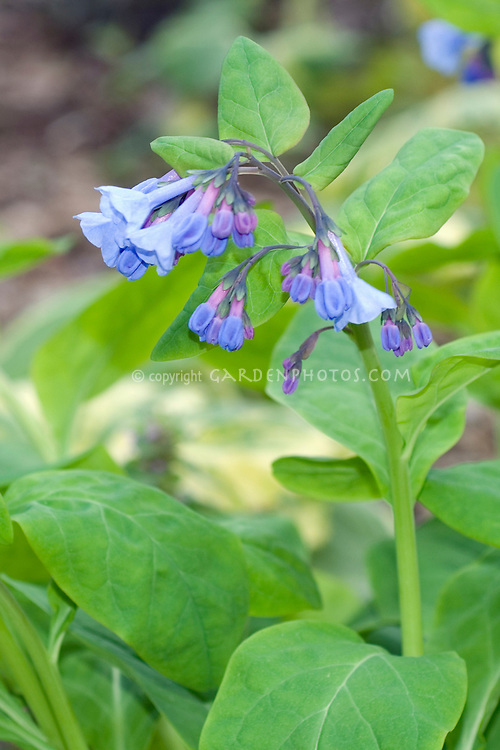 Mertensia virginica - Virginia Bluebells in flower
