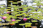 Pink water lilies in in Harpswell, Maine, USA