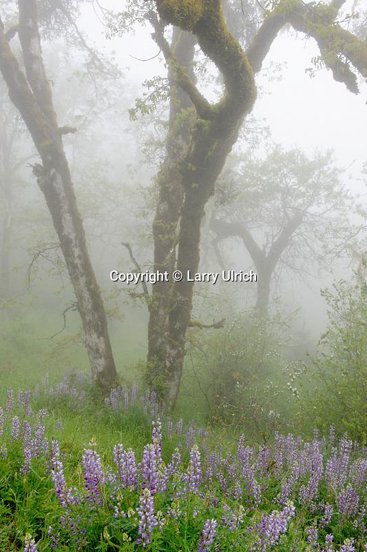 Riverbank lupine and Oregon oak<br /> Schoolhouse Peak<br /> Bald Hills Road, Redwood National Park<br /> Humboldt County, California