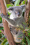 Kuranda, Queensland, Australia; Kuranda Koala Gardens, Koala (Phascolarctos cinereus) with baby in pouch