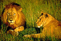 African, wild animal. Male and female lion relax on the Masai Mara, Kenya. Masai Mara, Kenya.