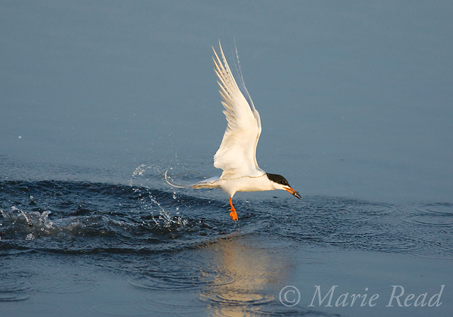 Forster's Tern (Sterna forsteri), jumps out of the water after capturing a small fish, Bolsa Chica Ecological Reserve, California, USA