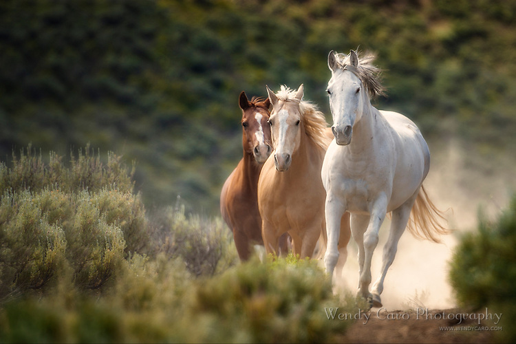 Three horses galloping together through dust, looking straight ahead, low angle, in sage brush desert
