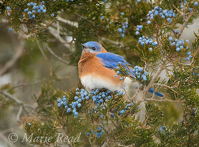 Eastern Bluebird (SIalia sialis) male attracted to feed on berries of Eastern Red-Cedar (Juniperus virginiana) in winter, Aurora, New York, USA