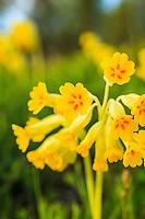 Blommande gullvivor vid Riddersholm på Rådmansö i Roslagen