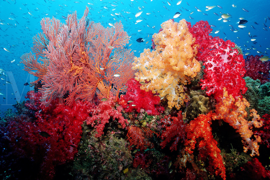 A tropical coral reef is one of nature's richest realms . They are extremely complex systems filled with microhabitats, that provide shelter for huge numbers of animals, Fiji, Indo-Pacific