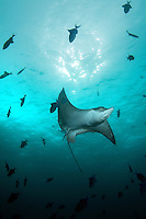 November 29th, 2008_MALDIVES_ A Spotted eagle ray, at a dive site known as Furana in the Maldives.  The Maldives, which is the world's lowest nation in altitude is rich with marine life and great diving.  Photographer: Daniel J. Groshong/Tayo Photo Group