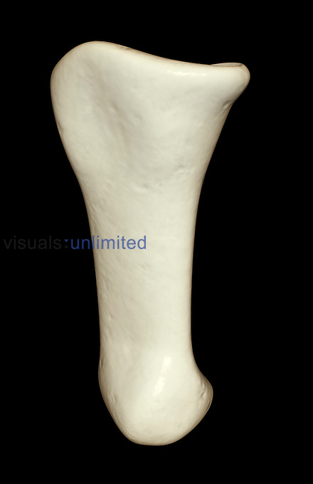 An anterior view of the middle phalanx of the finger. Royalty Free