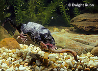 MB15-028x  Star-nosed Mole - catching a worm in a pool of  water - Condylura cristata