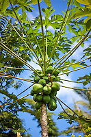 Fresh papaya (papaia, pawpaw) on a papaya tree at Tauono's Plantation, Aitutaki Island, Cook Islands.